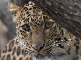 leopard serengeti taswira
